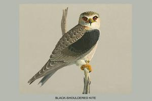 Black Shouldered Kite by Louis Agassiz Fuertes