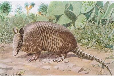 Nine Banded Armadillo, Named for the Overlapping Plates at Midriff by Louis Agassiz Fuertes