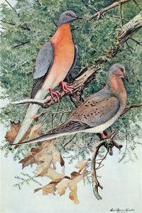 Pair of Passenger Pigeons, 1906 by Louis Agassiz Fuertes