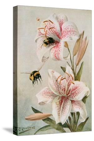 Bees and Lilies, Illustration from 'stories of Insect Life' by William J. Claxton, 1912