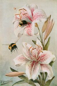 Bees and Lilies, Illustration from 'stories of Insect Life' by William J. Claxton, 1912 by Louis Fairfax Muckley