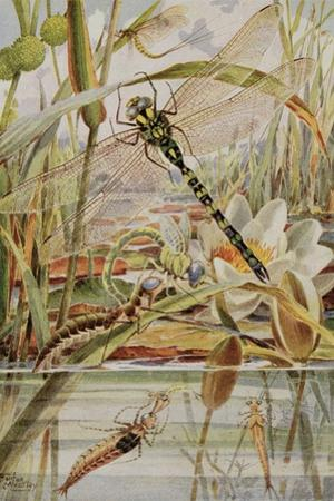 Dragonfly and Mayfly, Illustration from 'Stories of Insect Life' by William J. Claxton, 1912