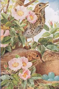 Song Thrushes with Nest, Illustration from 'Country Days and Country Ways', 1940s by Louis Fairfax Muckley