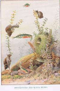 Sticklebacks and Water Snails, Illustration from 'Country Ways and Country Days' by Louis Fairfax Muckley