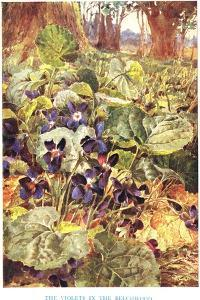 Violets in the Beechwood, Illustration from 'Country Ways and Country Days' by Louis Fairfax Muckley