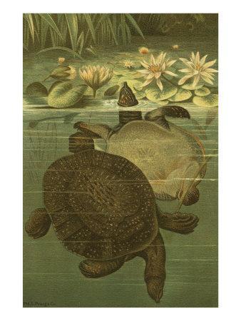 Pond Turtles
