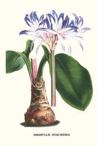 Amaryllis Hyacinthin by Louis Van Houtte
