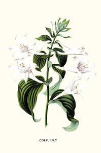 Corfu Lily by Louis Van Houtte