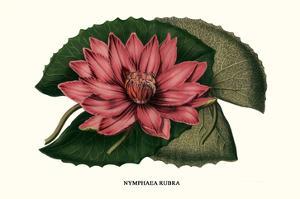 Crimson Water Lily by Louis Van Houtte