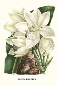 Crinum Giganteum - Medicinal by Louis Van Houtte