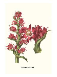 Giant Spear Lily by Louis Van Houtte