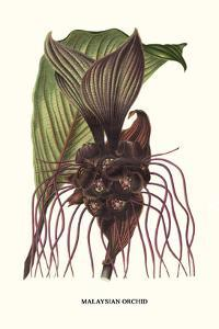 Malaysian Orchid by Louis Van Houtte