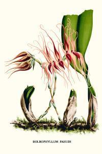 Orchid by Louis Van Houtte