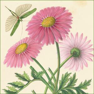 Pink Gerber by Louis Van Houtte