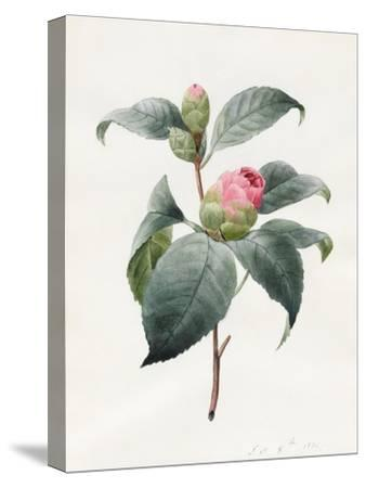 Camellia, 1826