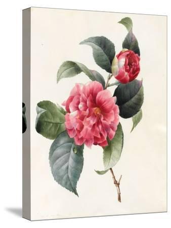 Camellia, 1827