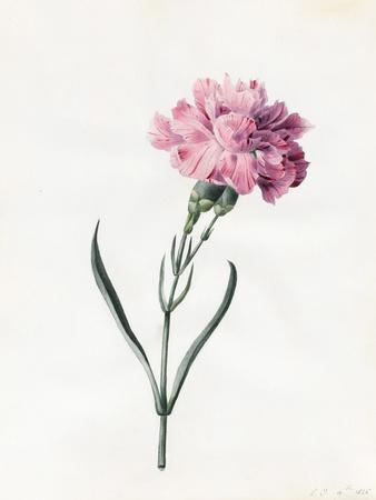 Carnation, 1826