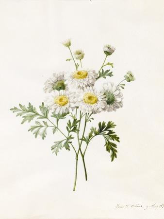 Chrysanthemum Parthenium (Batchelors Buttons), 1831 (W/C with Some Bodycolour on Vellum)