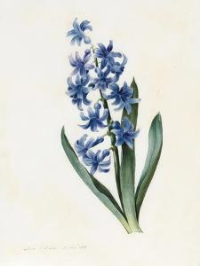 Hyacinth, 1826 by Louise D'Orleans