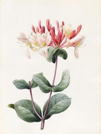 Lonicera Periclymenum (Honeysuckle) 1830