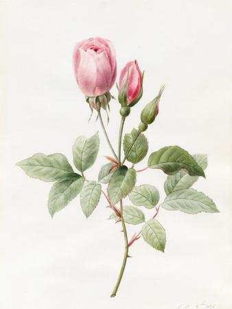 Pink Rose and Buds, 1826