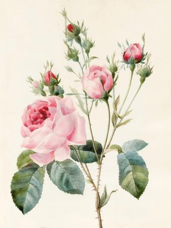 Pink Rose and Buds, 1832
