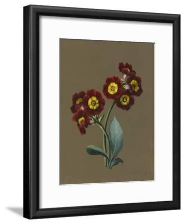 Red Primula Auricula, 1830 (W/C and Bodycolour on Paper with a Prepared Ground)