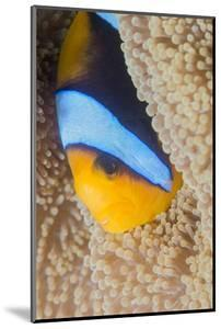 Barrier Reef Anenomefis (Amphiprion Akindynos) in Tentacles of Host Anemone in Symbiosis by Louise Murray