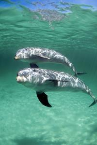Bottlenose Dolphins by Louise Murray