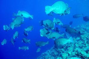 Bumphead Parrotfish (Bolbometopon Muricatum) Schooling. Quensland, Australia, Pacific by Louise Murray