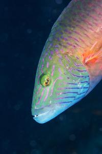 Cheek-Lined Wrasse (Oxycheilinus Digramma), Matangi Island, Vanua Levu, Fiji, Pacific by Louise Murray