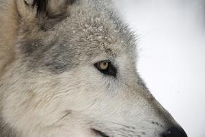 Close-Up of Face and Snout of a North American Timber Wolf (Canis Lupus) in Forest, Austria, Europe by Louise Murray
