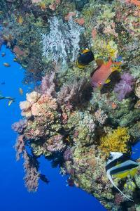 Colourful, Coral Covered Reef Wall at Osprey Reef, Longfin Banner Fish (Heniochus Acuminatus) by Louise Murray