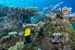 Colourful Healthy Hard and Soft Coral Reef with Long Nosed Butterflyfish (Forcipiger Flavissimus) by Louise Murray