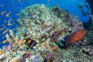 Colourful Reef Fish and Leopard Coral Grouper, Queensland, Australia by Louise Murray