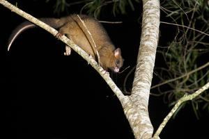 Coppery Brushtail Possum (Trichosurus Vulpecula Johnstonii) by Louise Murray