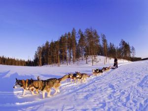 Driving a Dogsled with a Team of 8 Siberian Huskies, Karelia, Finland, Europe by Louise Murray