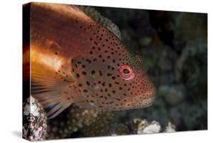 Freckled Hawkfish (Paracirrhites Forsteri) a Reef Fish That Feeds on Small Fish and Shrimps by Louise Murray