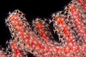 Gorgonian Fan (Melithaeidae) Polyps Open and Feeding, Queensland, Australia, Pacific by Louise Murray