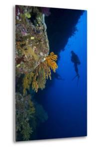 Gorgonian Sea Fans (Subergorgia Mollis) with Diver, Queensland, Australia, Pacific by Louise Murray
