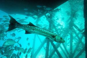 Great Barracuda (Sphyraena Barracuda) (Giant Barracuda) Can Grow Up to 1.8 Metres Long by Louise Murray