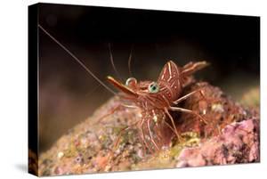 Hinge Beak Shrimp (Hinge Beak Prawn) (Rhynchocinetes Sp.) Emerges to Feed at Night by Louise Murray