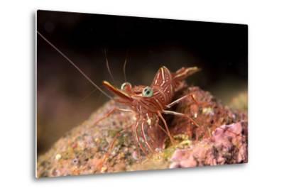 Hinge Beak Shrimp (Hinge Beak Prawn) (Rhynchocinetes Sp.) Emerges to Feed at Night