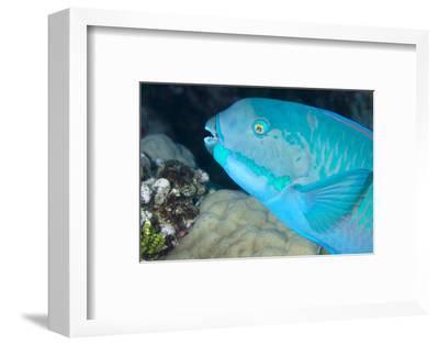 Indian Steephead Parrotfish (Scarus Strongycephalus), Beak Open Feeding, Queensland, Australia