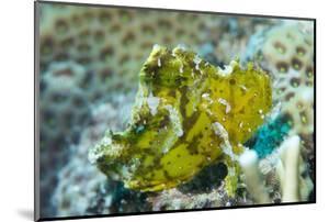Leaf Scorpionfish (Taenianotus Triacanthus), Queensland, Australia, Pacific by Louise Murray