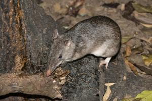 Long-Nosed Potaroo (Potorous Tridactylus) a Small Rodent Like Marsupial by Louise Murray