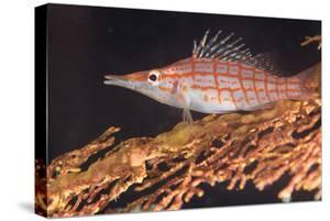 Longnose Hawkfish (Oxycirrhites Typus) on Gorgonian Sea Fans (Subergorgia Mollis) by Louise Murray
