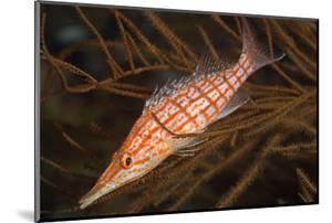 Longnose Hawkfish (Oxycirrhites Typus) by Louise Murray