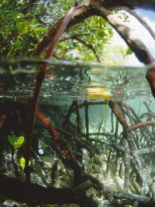 Mangrove Roots, Seychelles, Indian Ocean by Louise Murray