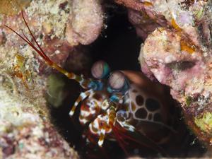 Mantis Shrimp (Gonodactylus Sp.), a Hole Dwelling Crustacean, Queensland, Australia, Pacific by Louise Murray